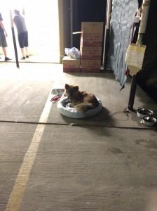 支援物資で頂いたクールマットで寝る避難所のワンコ。